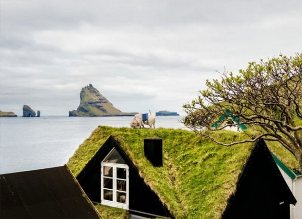 sheep Fær Øer 1